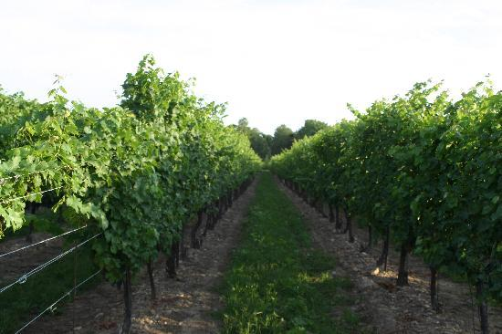The Winery Restaurant at Peller Estates: Grapes on the vine.