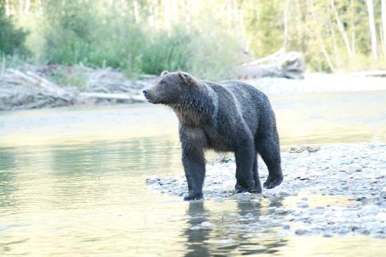 Bella Coola Mountain Lodge: Our Bear!