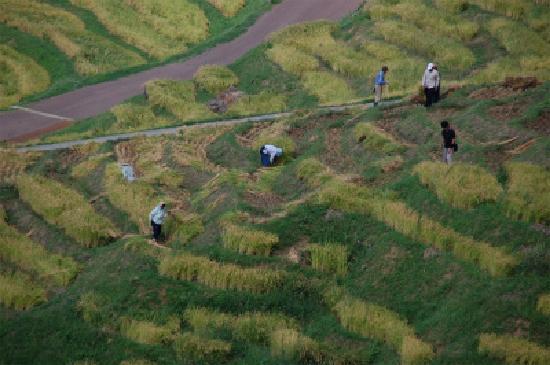 Shiroyone Semmaida: 稲刈りを手伝う人々