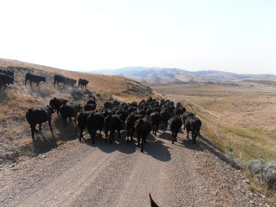 Bonanza Creek Guest Ranch: Moving cattle