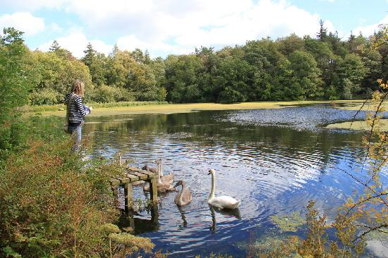 Doxford Cottages: Feeding the Swans on Doxford lake
