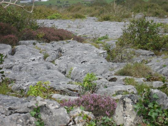 Burren Perfumery: This is what The Burren is: flowers growing out of rocks