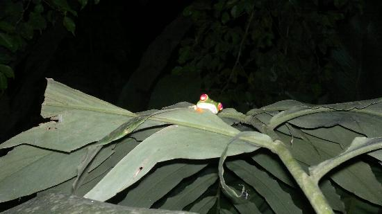Ara Ambigua Lodge: Red Eyed Frog!