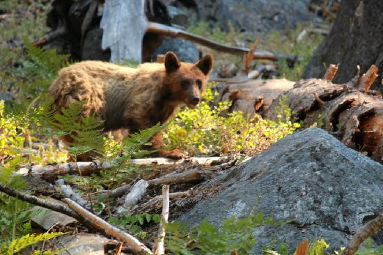 Lodgepole Campground: Cub we saw hiking on the trail