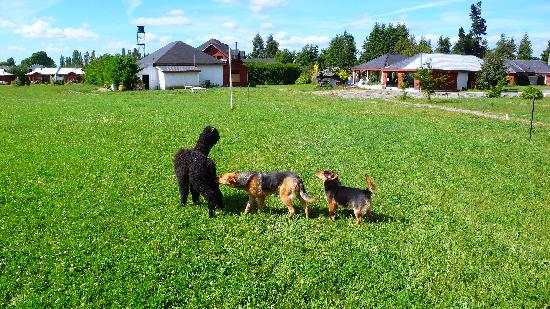 Complejo Alto Villarrica: the friendly hotel dogs with a baby alpaca on the premises.
