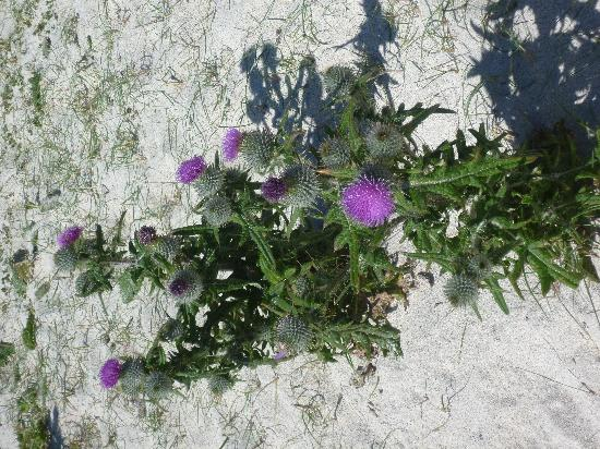Torrasa: White sands and thistle