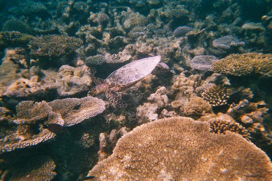 คุรีดุ ไอแลนด์ รีสอร์ท แอนด์ สปา: Turtle mixing with corals