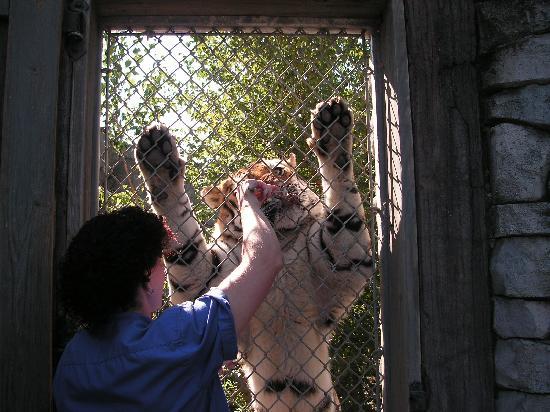 Columbus Zoo: tiger