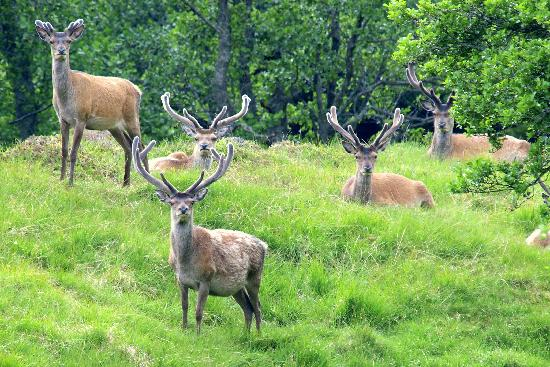 Aigas Field Centre: Where are all the Hinds?
