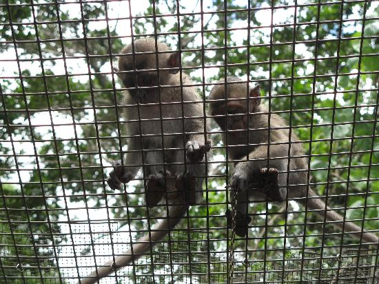 Monkey Jungle: singes qui ont faim!