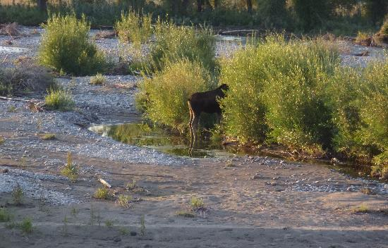 Wildlife Expeditions of Teton Science Schools: First moose