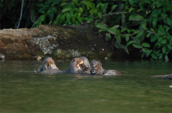 Sandoval Lake Lodge: giant otters in their habitat
