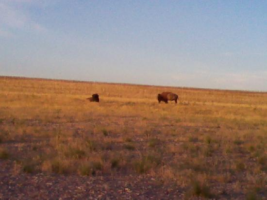 Antelope Island State Park: They're Bison not buffalo