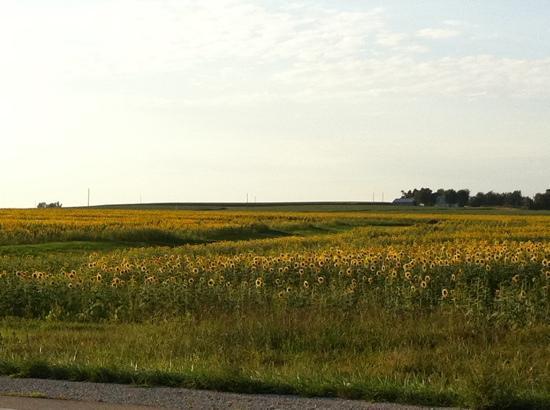 Hiawatha, แคนซัส: sunflowers crops.
