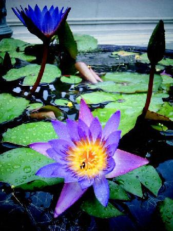 Cheong Fatt Tze - The Blue Mansion: Pretty, pretty water lilieds in the garden..
