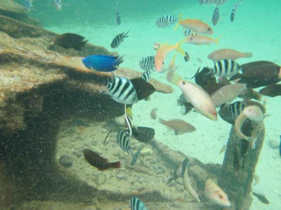 Kanoa Resort Saipan: ビーチにはお魚が沢山いるよ