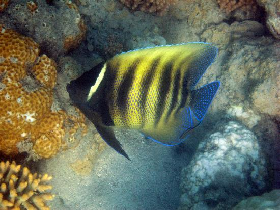 ISail Whitsundays: Striped Angelfish