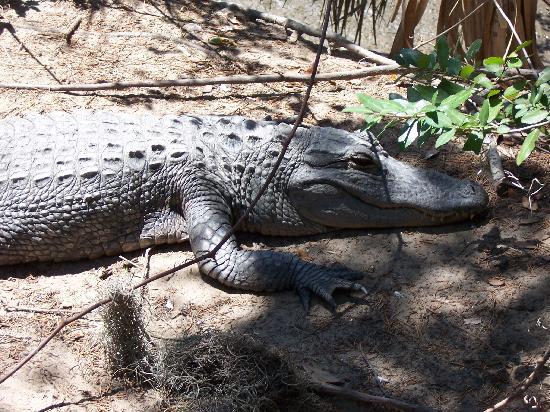Oatland Island Wildlife Center: Alligator