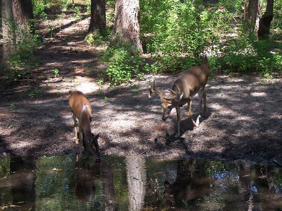 Oatland Island Wildlife Center: Deer