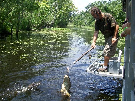 Cajun Pride Swamp Tours: Guide Feeding the Alligators!