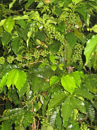 Finca Rosa Blanca Coffee Plantation Resort: Coffee doesn't get any fresher than this!