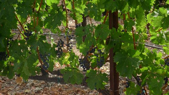 Reynolds Family Winery: Vines as you pull up in your car