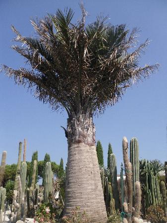 Giardini Ravino: esemplare di rara pianta di palma