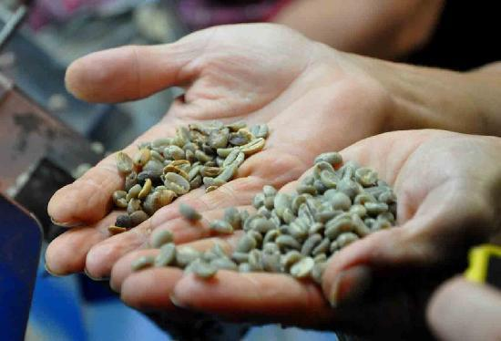 Mountain Thunder: Coffee Beana Before They Are Roasted