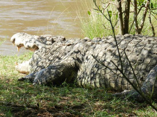 Mara Serena Safari Lodge: 18 foot Croc with breakfast