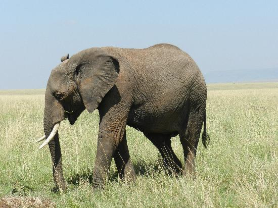 Mara Serena Safari Lodge: Elephant