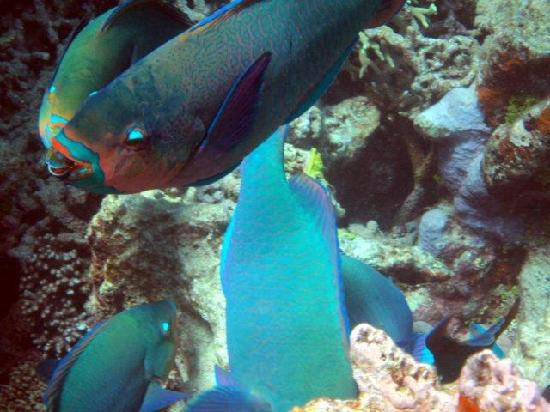 Silverswift Dive & Snorkel: Coral eating fish