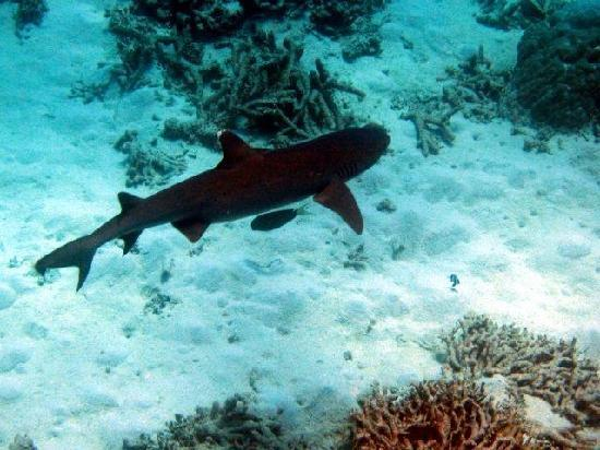 Silverswift Dive & Snorkel: Reef shark