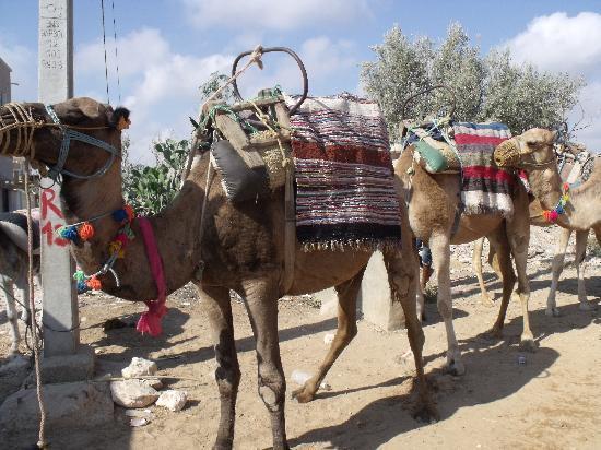 Soviva Resort: Camel trip