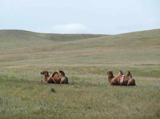 Hustai National Park: A l'approche du Désert de Gobi, les chameliers sont prêts