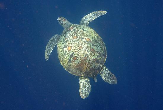 คิคัค ซีนัง รีสอร์ท: tartaruga