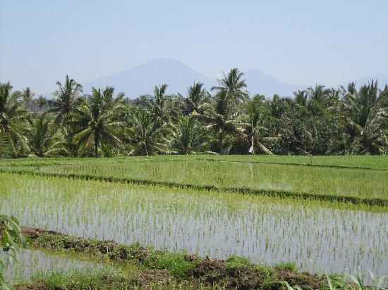 Banyan Tree Bike Tours: Rice paddies