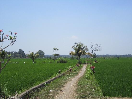 Banyan Tree Bike Tours: Rice paddies