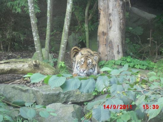 Edinburgh Zoo: Sumatran Tiger