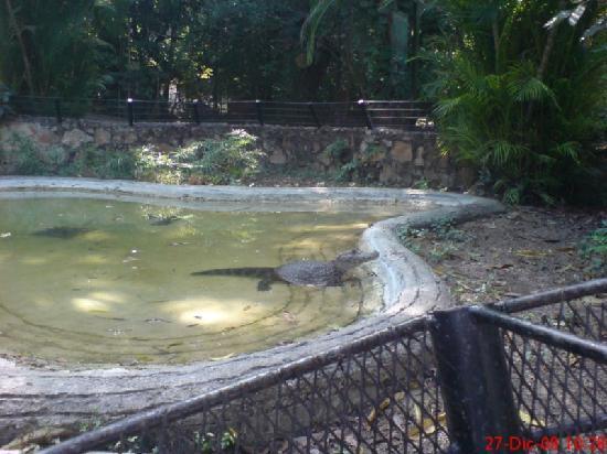 Zoológico Regional de Chiapas Miguel Álvarez del Toro: cocodrilos...