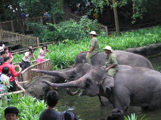 สวนสัตว์สิงคโปร์: elephants feeding after the show