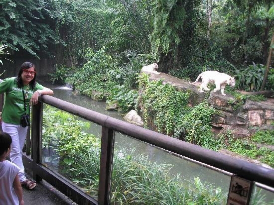 สวนสัตว์สิงคโปร์: white cat