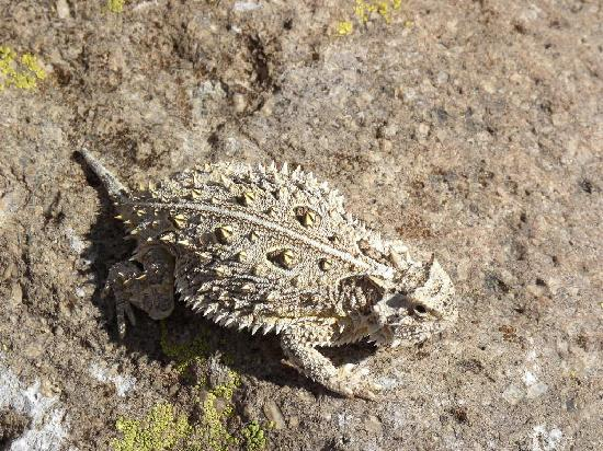 Chiricahua Desert Museum: horned toad in the garden
