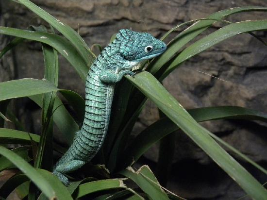 Chiricahua Desert Museum: animals on exhibit - abronia