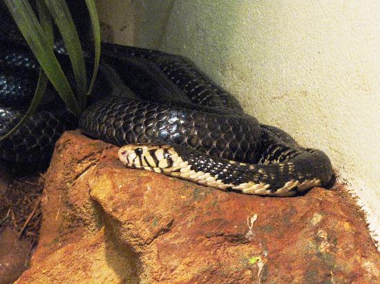 Cango Wildlife Ranch: Forest Cobra