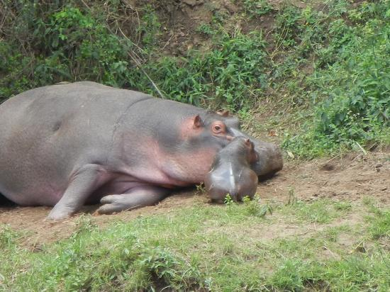 Governor's Camp: mother and baby hippo across from our site