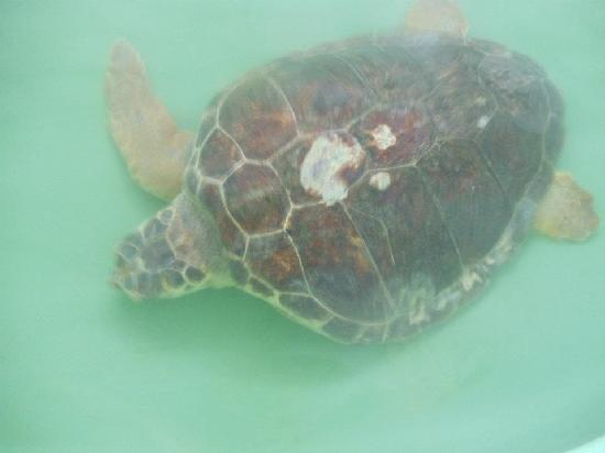 Dalyan Resort Spa: Injured turtle at Turtle beach hospital