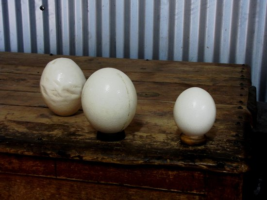 Highgate Ostrich Show Farm: deformed , normal and infertile eggs .