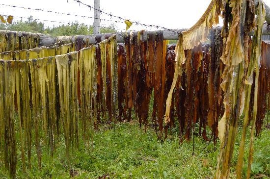 Solovetsky Islands, รัสเซีย: Drying laminaria in the  Rebalda village