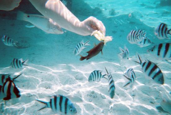 Hilton Moorea Lagoon Resort & Spa: The fish are not shy!
