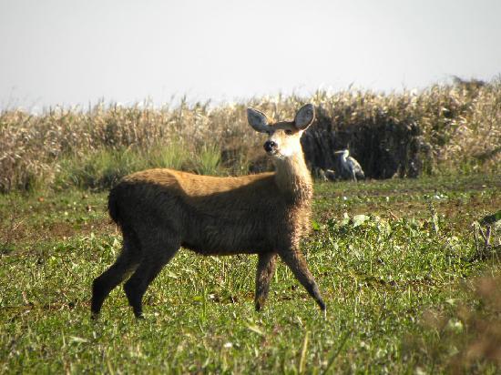 Posada Ypa Sapukai: Ciervo de los Pantanos